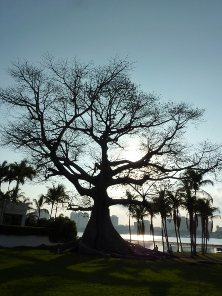 Kapok Tree in Florida