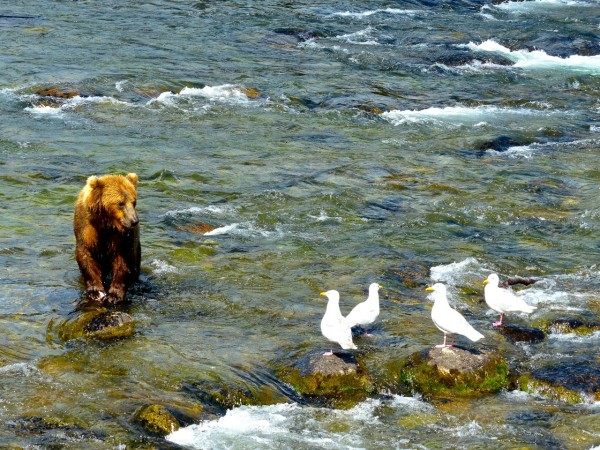 Brooks Falls- bear and seagulls