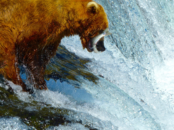 Brooks Falls- bear catching salmon in falls 3