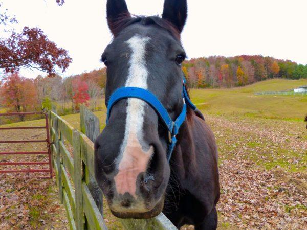 Primland- horse