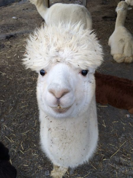 Sugarloaf Alpaca - alpaca!