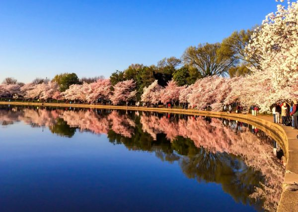 Cherry Blossoms in DC- Tidal Basin Reflections