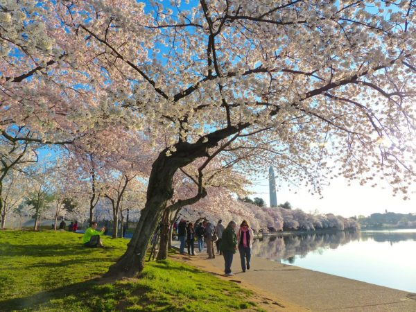 Cherry Blossoms in DC- blossoms to yourself 2