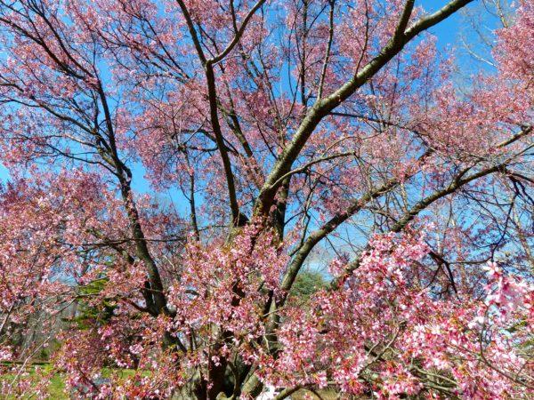 National Arboretum- cherry blossoms 2