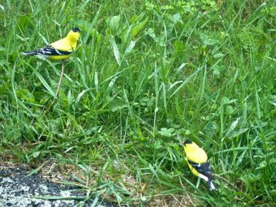 Shenandoah- American Goldfinch