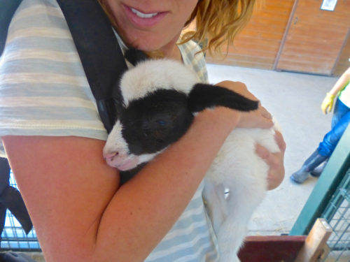 Frederick agritourism- I get to cuddle a lamb at Green Meadows