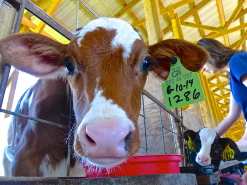 Frederick agritourism- Close up to a calf at South Mountain Creamery