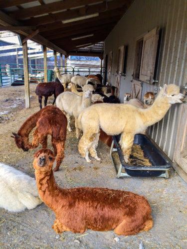 Frederick agritourism- Sugarloaf Alpacas