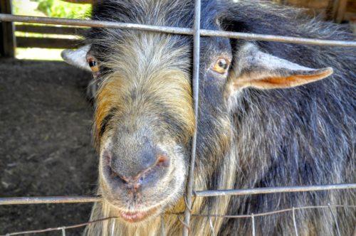 gettysburg-getaway-round-barn-goats